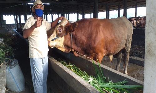 Kepala Desa Tlogoweru Guntur Demak memperlihatkan peternak anything sapi yang dijadikan sebagai wisata Edukasi Peternak anything. (Foto: Sukri)